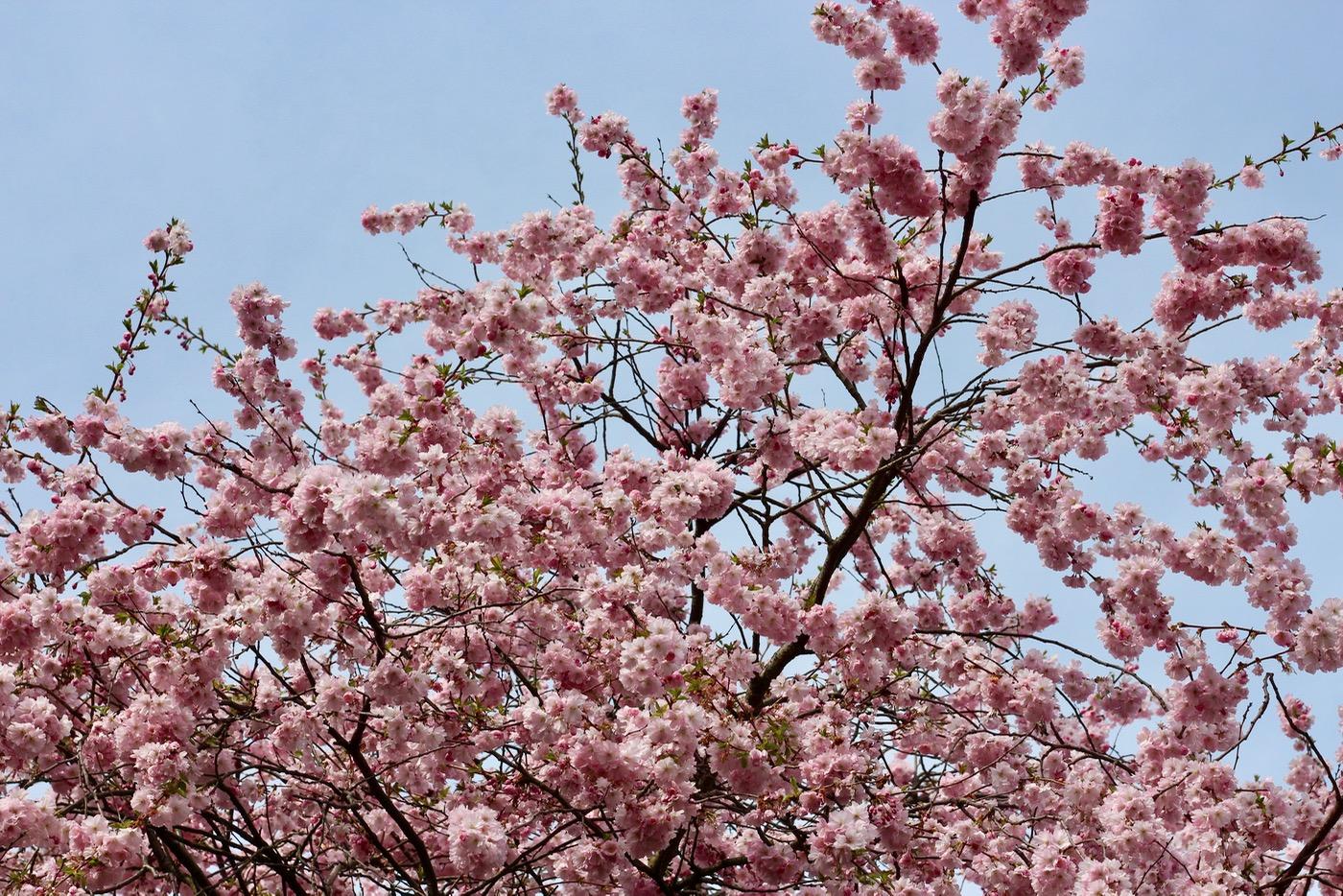 Hallo ihr Lieben, die Kirschblütenblätter fallen, die Bäume färben sich von rosa zu grün und endlich endlich ist der Frühling richtig da. Jedes Jahr genieße ich diese Zeit so unglaublich. Im Spätsommer kann man sich immer schwer vorstellen, wie sehr einem Wiesen, Bäume und Wärme im Winter wieder fehlen werden - und wie lange es dauert, bis man all das wieder hat. Als letzte Woche noch alles in voller Blüte stand, machten wir einen kleinen Ausflug zu Planten un Blomen und genossen die Blütenpracht im japanischen Garten. Planten un Blomen ist rund ums Jahr einen Besuch wert, doch diese paar Tage Anfang April sind einfach etwas ganz Besonderes. Also habe ich euch mitgenommen, zu Rotköpfchens Hamburg #4: Planten un Blomen in Kirschblütenpracht.